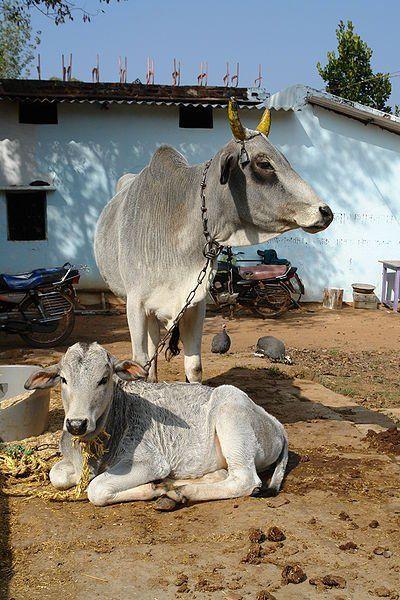 Cow Gaay Mata Images Pics