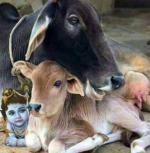 Gaay Mata with Bachda Image