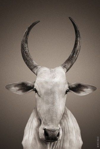 Holy Cow Gau Mata Pics Image